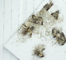 Mole spożywcze w kuchni: jak zwalczyć?